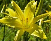 Κίτρινο λουλούδι μια ηλιόλουστη ημέρα σε ένα πράσινο κλίμα Στοκ Εικόνες