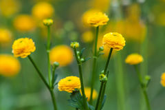 Κίτρινο λουλούδι νεραγκουλών Στοκ Εικόνα