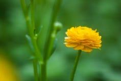 Κίτρινο λουλούδι νεραγκουλών Στοκ φωτογραφία με δικαίωμα ελεύθερης χρήσης
