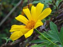 Κίτρινο λουλούδι ομορφιάς Στοκ Εικόνα