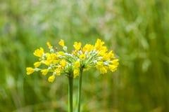 κίτρινο λουλούδι ολίσθησης αγελάδων Στοκ φωτογραφία με δικαίωμα ελεύθερης χρήσης