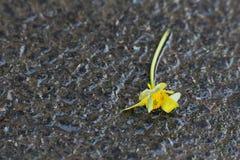 Κίτρινο λουλούδι πεσμένος Στοκ Φωτογραφίες