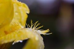 Κίτρινο λουλούδι πετάλων Στοκ Φωτογραφία