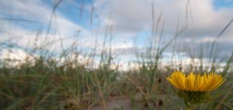 Λουλούδι πικραλίδων στη χλόη παραλιών Στοκ Φωτογραφίες