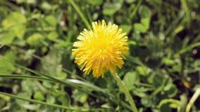 Κίτρινο λουλούδι πικραλίδων στο άγριο περιβάλλον απόθεμα βίντεο