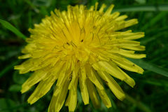 Κίτρινο λουλούδι σε έναν πράσινο τομέα στοκ εικόνα με δικαίωμα ελεύθερης χρήσης