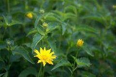 Κίτρινο λουλούδι σε ένα πράσινο κρεβάτι λουλουδιών Φυσική ανασκόπηση στοκ φωτογραφίες