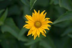 Κίτρινο λουλούδι σε ένα πράσινο κρεβάτι λουλουδιών Φυσική ανασκόπηση στοκ φωτογραφία με δικαίωμα ελεύθερης χρήσης