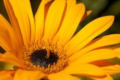 Κίτρινο λουλούδι στην άνθιση Στοκ εικόνα με δικαίωμα ελεύθερης χρήσης