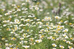 Κίτρινο λουλούδι στην Τουρκία Στοκ εικόνα με δικαίωμα ελεύθερης χρήσης