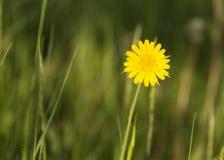 Κίτρινο λουλούδι στο λιβάδι Στοκ εικόνες με δικαίωμα ελεύθερης χρήσης