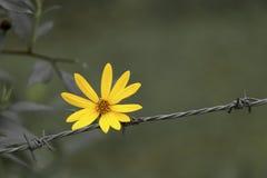 Κίτρινο λουλούδι στο φράκτη καλωδίων Στοκ Φωτογραφίες