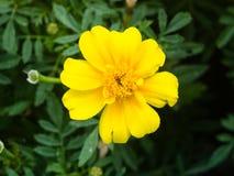Κίτρινο λουλούδι της νεολαία-και-ηλικίας, Zinnia elegans, κινηματογράφηση σε πρώτο πλάνο, εκλεκτική εστίαση, ρηχό DOF Στοκ φωτογραφία με δικαίωμα ελεύθερης χρήσης