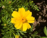 Κίτρινο λουλούδι της νεολαία-και-ηλικίας, Zinnia elegans, κινηματογράφηση σε πρώτο πλάνο, εκλεκτική εστίαση, ρηχό DOF Στοκ Εικόνα