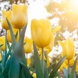 Κίτρινο λουλούδι τουλιπών με το φως του ήλιου πρωινού Στοκ Εικόνα