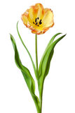 Κίτρινο λουλούδι τουλιπών λουλουδιών τουλιπών Στοκ φωτογραφία με δικαίωμα ελεύθερης χρήσης