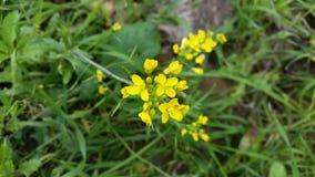 Κίτρινο λουλούδι του Μαρόκου στοκ εικόνες