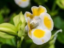 Κίτρινο λουλούδι του Wishbone Στοκ Εικόνες
