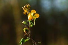 Κίτρινο λουλούδι χλόης. Στοκ Εικόνες