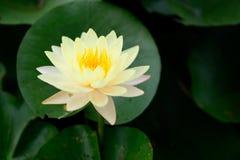 Κίτρινο λουλούδι λωτού Στοκ Φωτογραφίες