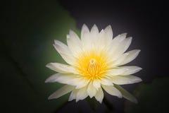 Κίτρινο λουλούδι λωτού Στοκ Φωτογραφία