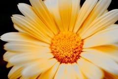 Κίτρινο λουλούδι Στοκ Εικόνα