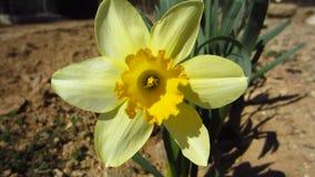 Κίτρινο λουλούδι απόθεμα βίντεο