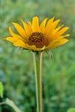 Κίτρινο λουλούδι Στοκ φωτογραφίες με δικαίωμα ελεύθερης χρήσης