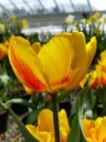 Κίτρινο λουλούδι Στοκ Εικόνες