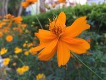 Κίτρινο λουλούδι Στοκ Φωτογραφία