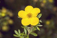 Κίτρινο λουλούδι anemone στη φύση Στοκ Φωτογραφίες