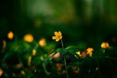 Κίτρινο λουλούδι anemone Στοκ Εικόνες