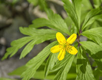 Κίτρινο λουλούδι anemone Στοκ Φωτογραφίες