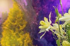 Κίτρινο λουλούδι aquilegia σε ένα ζωηρόχρωμο υπόβαθρο Στοκ φωτογραφίες με δικαίωμα ελεύθερης χρήσης