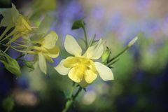 Κίτρινο λουλούδι Aquilegia Στοκ Φωτογραφία