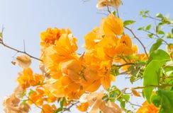 Κίτρινο λουλούδι bougainvillea στο υπόβαθρο μπλε ουρανού Στοκ Εικόνες