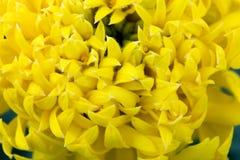 Κίτρινο λουλούδι calendula πράσινο στενό σε έναν επάνω υποβάθρου Στοκ Φωτογραφίες