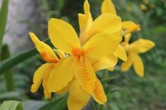 Κίτρινο λουλούδι Canna Lilly Στοκ Φωτογραφία