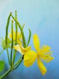 Κίτρινο λουλούδι Chelidonium σε ένα μπλε υπόβαθρο grange Στοκ εικόνα με δικαίωμα ελεύθερης χρήσης