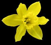 Κίτρινο λουλούδι daffodil απομονωμένο στο ο Μαύρος υπόβαθρο με το ψαλίδισμα της πορείας Καμία σκιά closeup Στοκ Εικόνες