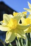 Κίτρινο λουλούδι daffodil μια ηλιόλουστη ημέρα άνοιξη με έναν μπλε ουρανό Στοκ Φωτογραφία