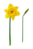 Κίτρινο λουλούδι - Daffodil, στο άσπρο υπόβαθρο Στοκ Φωτογραφία