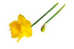 Κίτρινο λουλούδι - Daffodil, στο άσπρο υπόβαθρο Στοκ Εικόνες