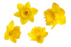 Κίτρινο λουλούδι - Daffodil, στο άσπρο υπόβαθρο Στοκ εικόνες με δικαίωμα ελεύθερης χρήσης
