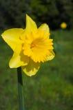 Κίτρινο λουλούδι Daffodil Στοκ Εικόνα