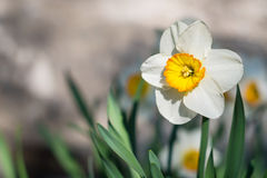 Κίτρινο λουλούδι Daffodil Στοκ Εικόνες
