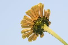 Κίτρινο λουλούδι gerbera από κάτω από Στοκ Εικόνες