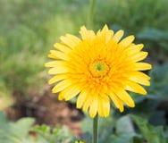 Κίτρινο λουλούδι gerera στο υπόβαθρο φύσης κήπων Στοκ Εικόνες
