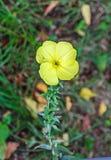 Κίτρινο λουλούδι glazioviana Oenothera, ένα είδος ανθίζοντας σχεδίου Στοκ Φωτογραφίες