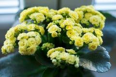 Κίτρινο λουλούδι kalanchoe στο δοχείο Στοκ Εικόνες